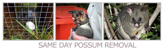 same day possum removal